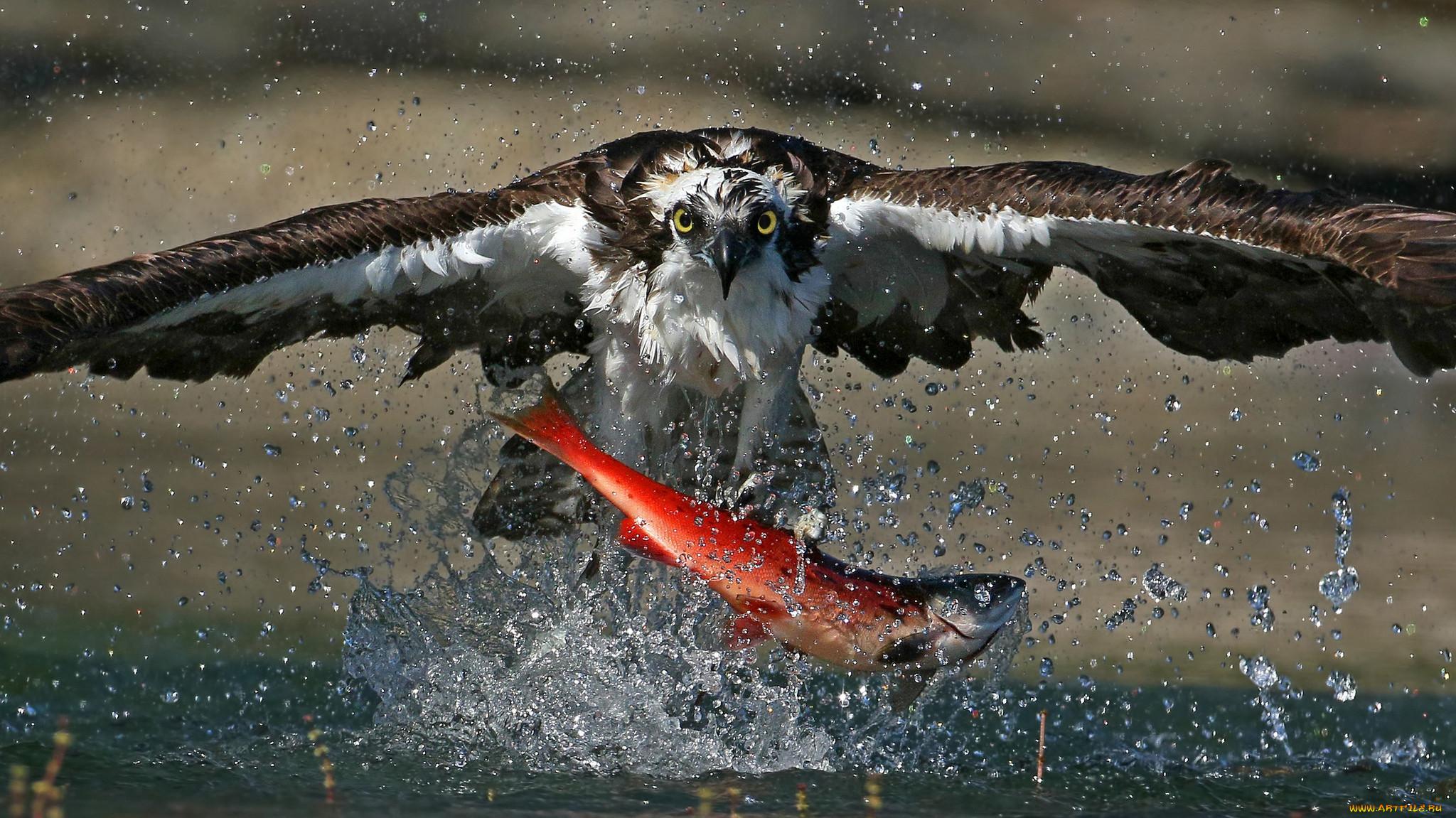 гуппи хищные птицы на охоте фото равенсбрюке